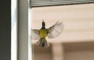 black and yellow bird flying outside of window